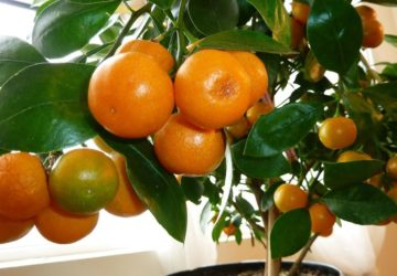 Cum să îngrijești un portocal
