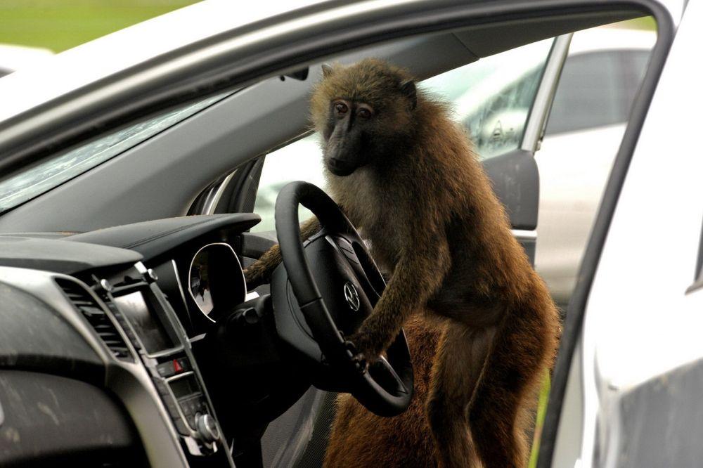 sofer maimuta