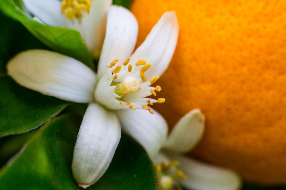 flori portocal