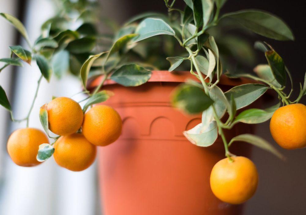 ghiveci portocal