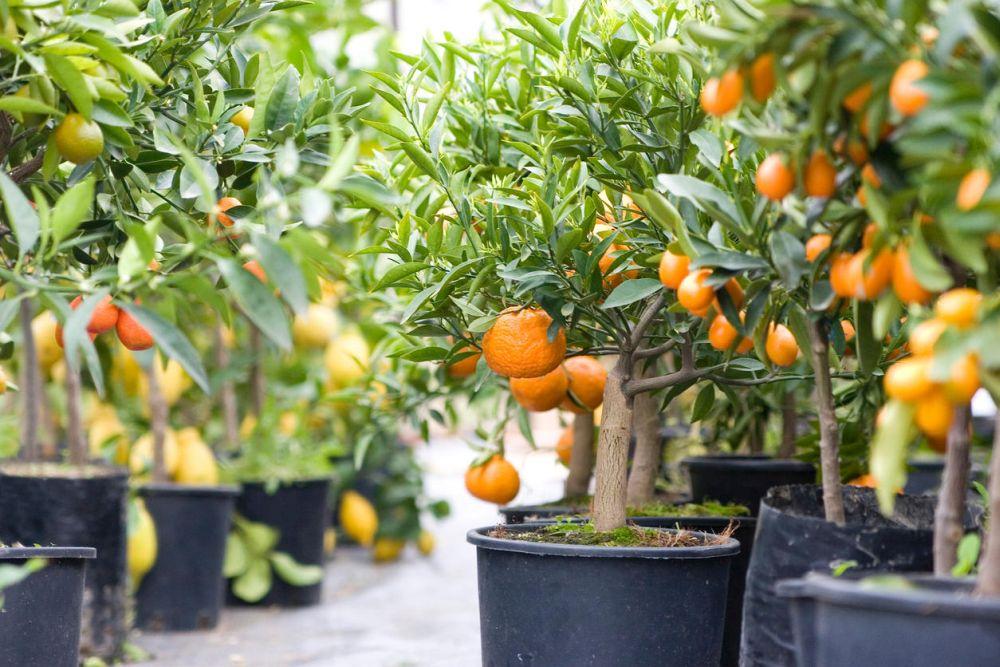 tipuri de portocali