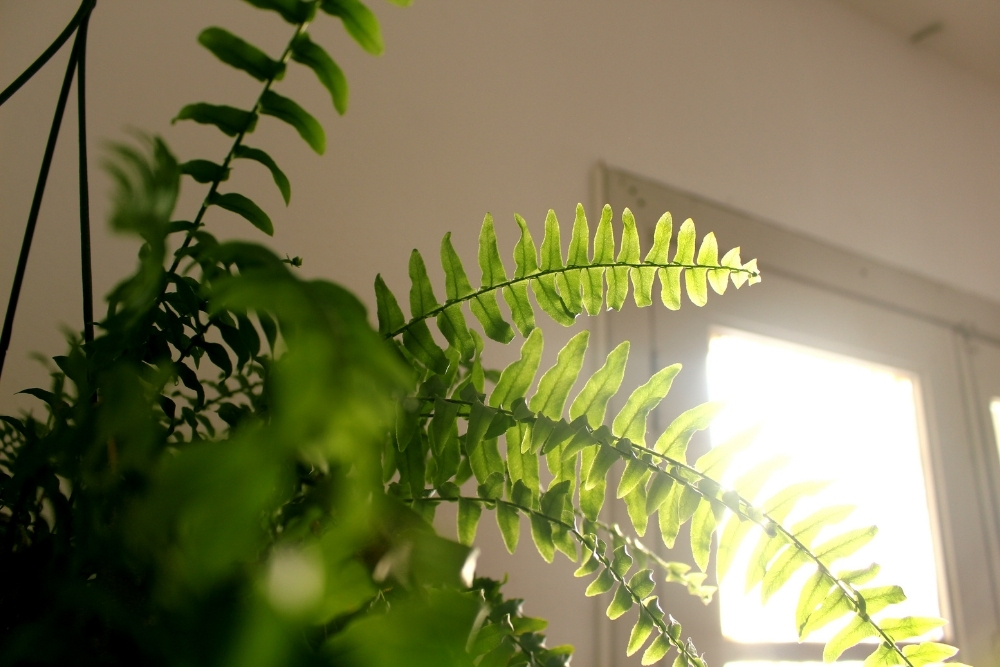plante lumina
