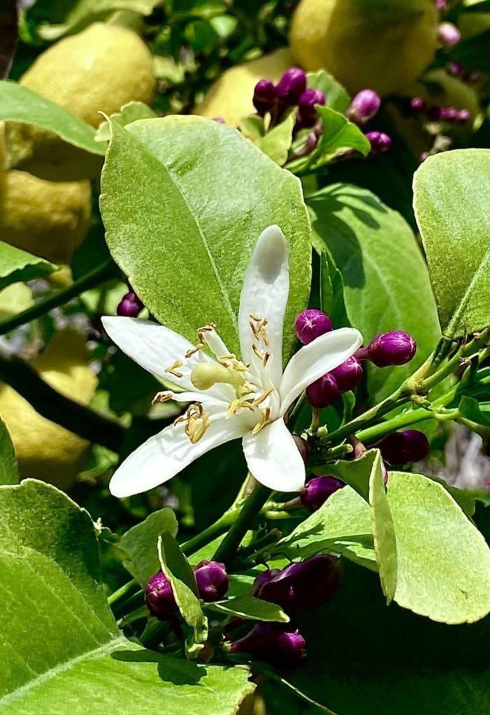 flori de lamai
