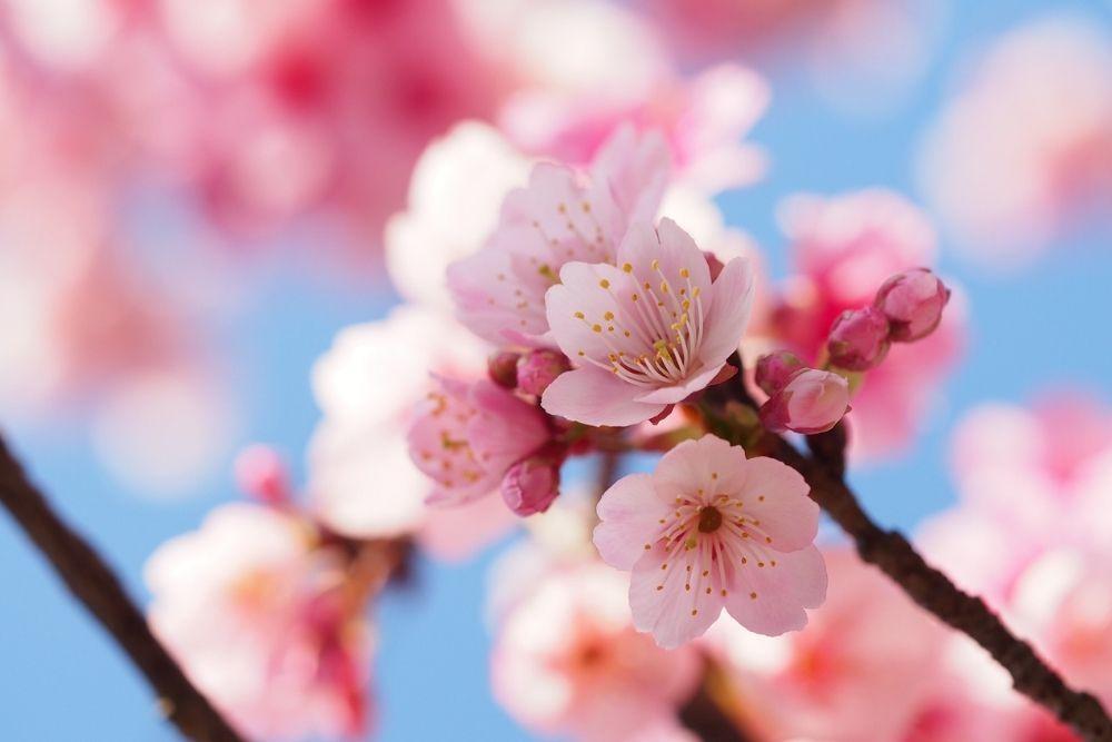 floare cires